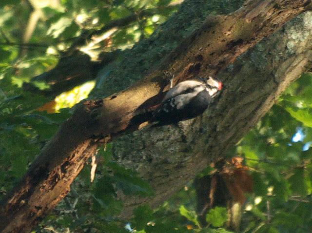 DSC_4944 Greater spotted woodpecker