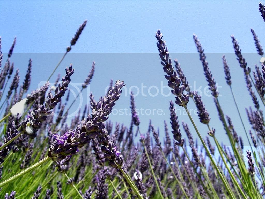 LAVENDER Pictures, Images and Photos