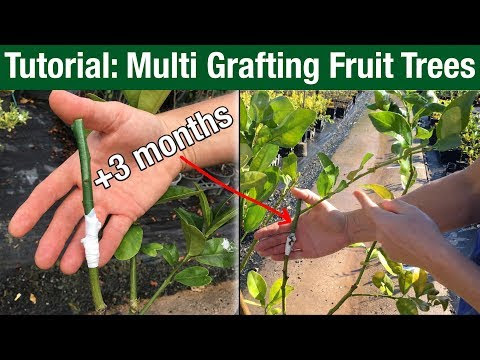 Multi Grafting Fruit Trees Top Graft Tutorial
