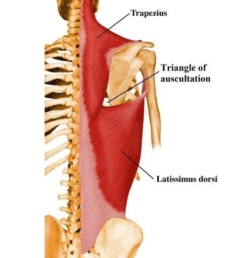 Image result for triangle of auscultation