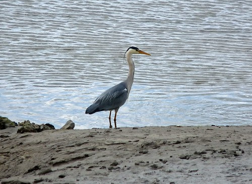 12449 - Grey Heron at Loughor Bridge