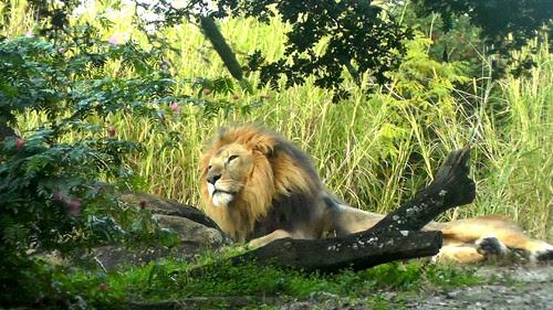 S1200003_Lion