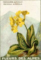 fleurs alpes 6