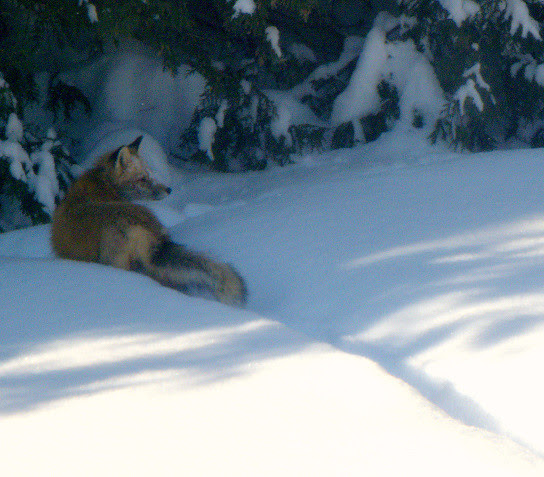 Fleeting Glimpse Of A Fox