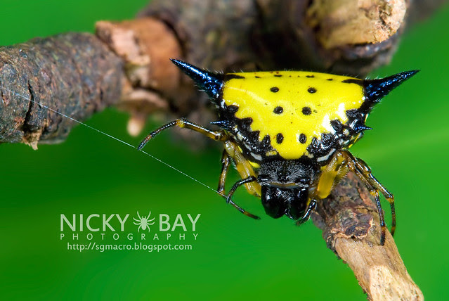 Hasselt's Spiny Back Orb Weaver (Gasteracantha hasselti) - DSC_5441