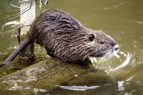Nutria rat trying to get into water   Stock Photo   Colourbox