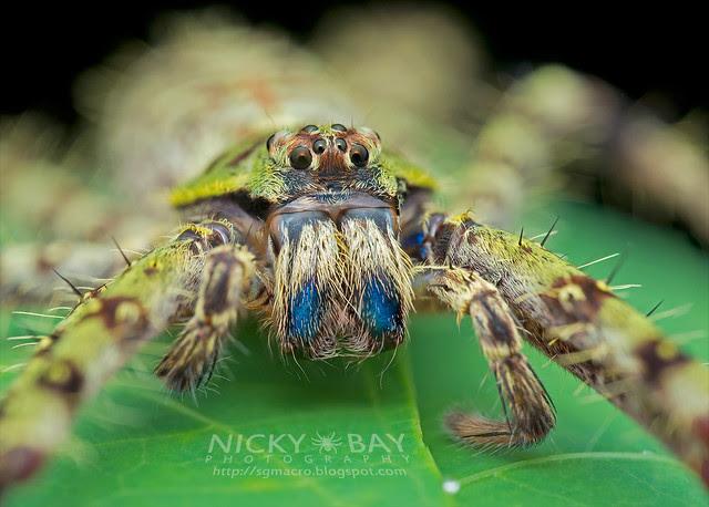 Huntsman Spider (Heteropoda boiei) - DSC_7914