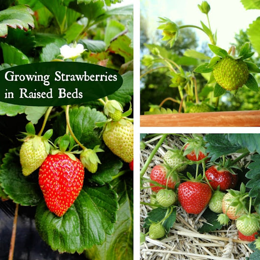 Growing Strawberries in Raised Beds for a Bountiful Harvest - Mom Foodie