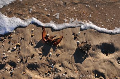 More horseshoe crab remains...