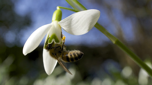 Snowdrops: Winter Forage For Bees - Beverly Bees