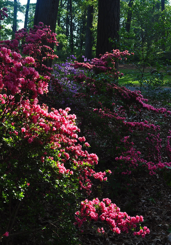 Rhododendron 'Kirin' (2)