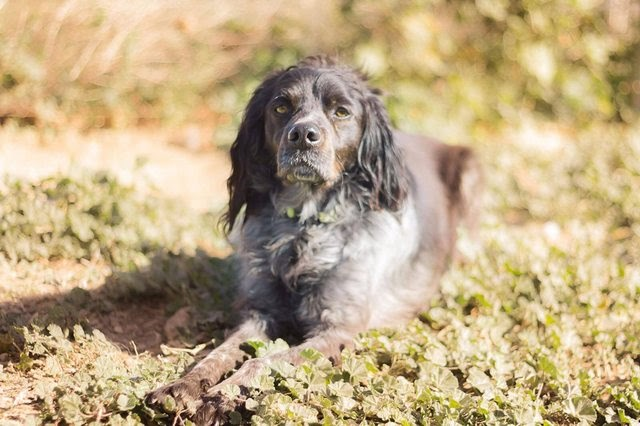 Charlie – 5 year old male Brittany Spaniel