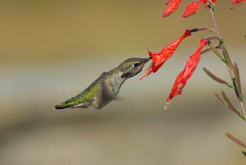 Hummingbird with Tamron 70-300 Di LD, Pentax K10D,Promaster Spectrum 7 1.7x AF Teleconverter Pentax