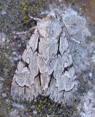 Grey Dagger sp moth