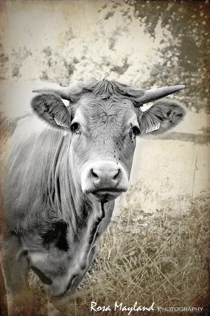 Cow Portrait 1 9 bis