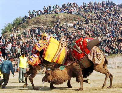 Camel wrestling 2 Weirdest Competitions In The World Pictures Seen on www.VyperLook.com