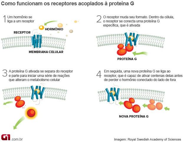 info Receptor proteína G (Foto: Editoria de Arte/G1)