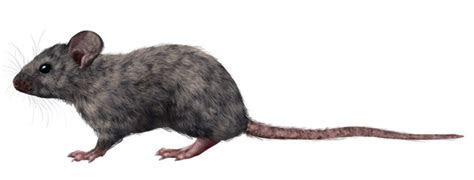 How to Draw Animals: Small Rodents and Their Anatomy