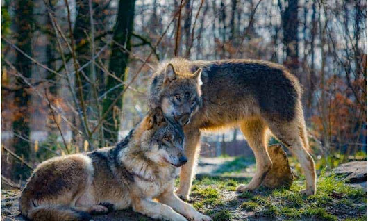 Norway reprieves 32 of 47 wolves earmarked for cull