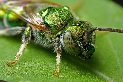 iridescent green bee