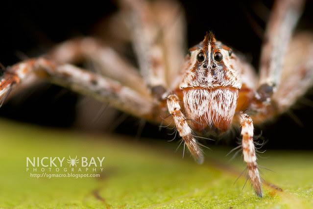 Lynx Spider (Oxyopidae) - DSC_6340b