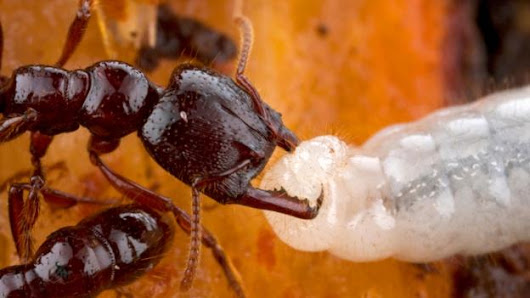 Baby ants have a host of unexpected superpowers