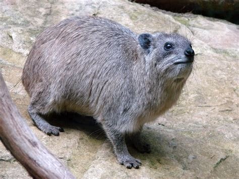 THE HIGH LIFE OF HYRAXES by Deborah Painter ? IMAGINEMAG!