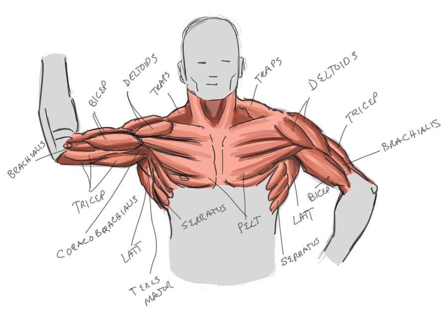 Upper Body Anatomy 3 by MaxAKbar on DeviantArt