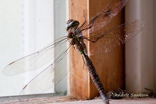 Female Shadow Darner (Aeshna umbrosa).jpg