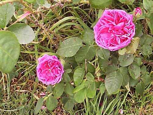 Benambra Rose2