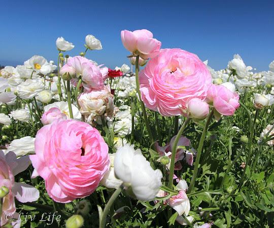 Carlsbad Flower Fields, pink ranunculas and blue sky