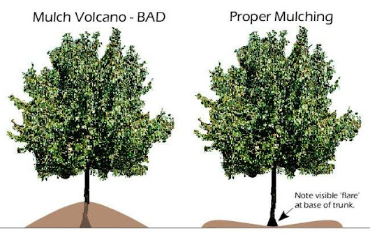 Dont kill your trees, make sure you are mulching them the right way