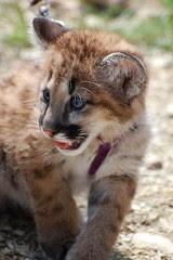 baby cougar 2