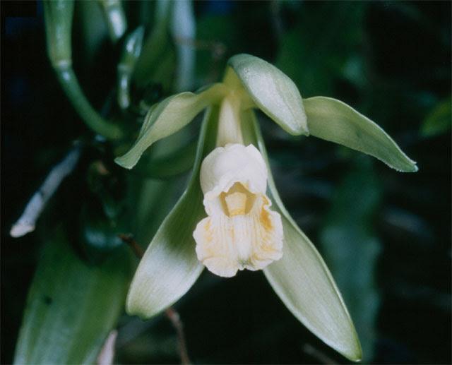 File:Vanilla planifolia 1.jpg
