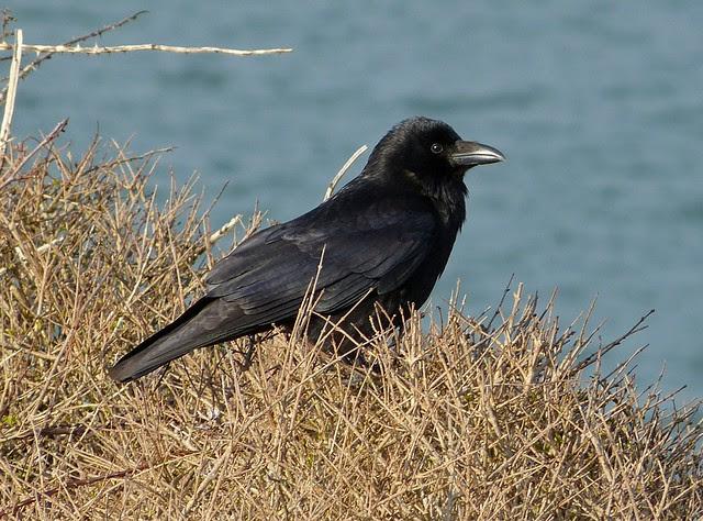 25795 - Crow, Bracelet Bay
