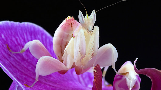 Beautiful Huntresses: Scientists Explain Why Mantises Evolved To Resemble Orchids