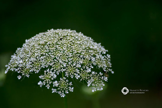 Maine Wildflowers: Queen Anne's Lace