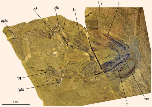 New evidence that sharks descend from acanthodians