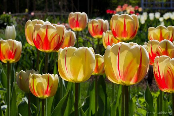 f/16, tulips