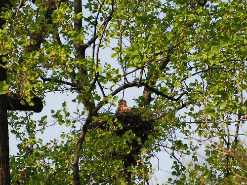 Inwood Red-Tail Mama
