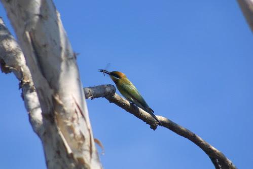 Rainbow Bee-eater Foog Dam