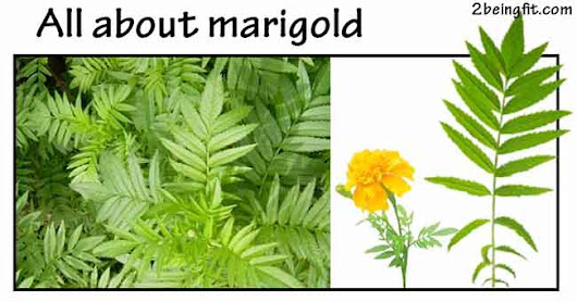 Marigold – proven health beauty benefits uses