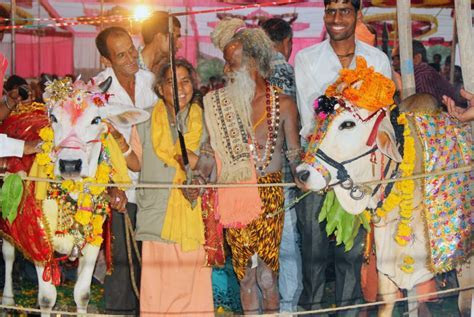 Sacred cow and a bull marry in India   Daily Mail Online