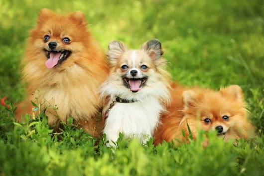 Small Fluffy Dogs - These 11 Fuzzy Doggie Are Very Adorable | MrsDoggie