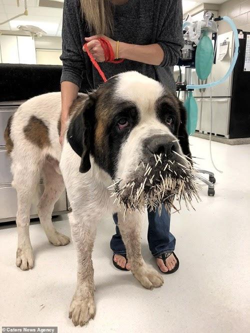Desafortunado perro intenta hacerse amigo de un puercoespín y acaba lamentándolo profundamente