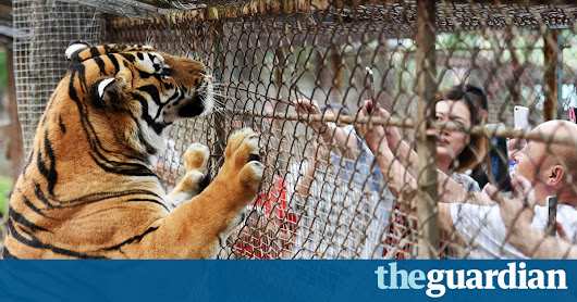 Tigers maul woman to death and wound another at Chinese wildlife park | World news | The Guardian