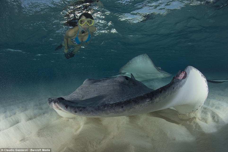 Underwater: A woman in a bikini and flippers is pictured snorkelling and swimming with the extraordinary stingrays off the Cayman Islands in the Caribbean