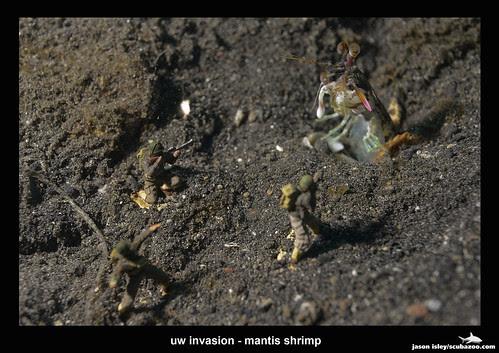 uw invasion - mantis shrimp