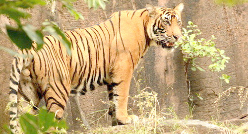 Meet the Super Star Tigers of Ranthambore National Park