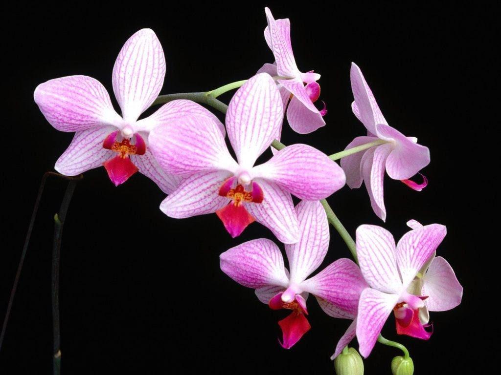 Orchid Backgrounds Hd Desktop Wallpapers 4k Hd